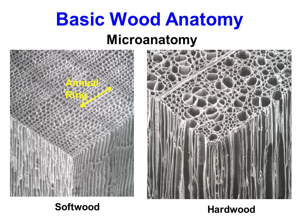 Tree growth and wood formation ppt download 7 basic wood anatomy microanatomy annual ring softwood hardwood ccuart Images
