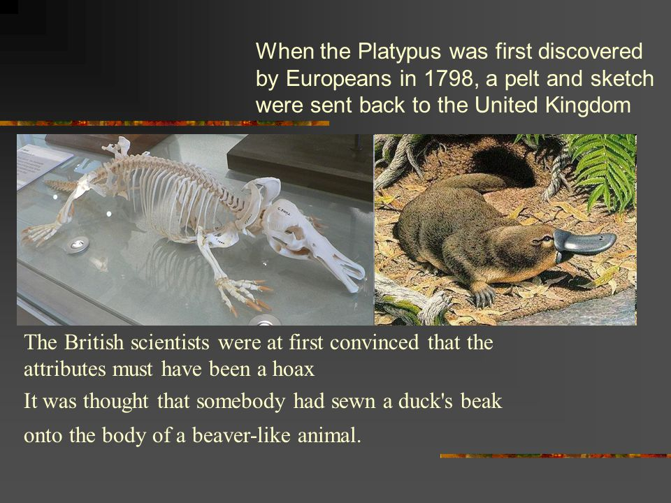 When the Platypus was first discovered by Europeans in 1798, a pelt and sketch were sent back to the United Kingdom