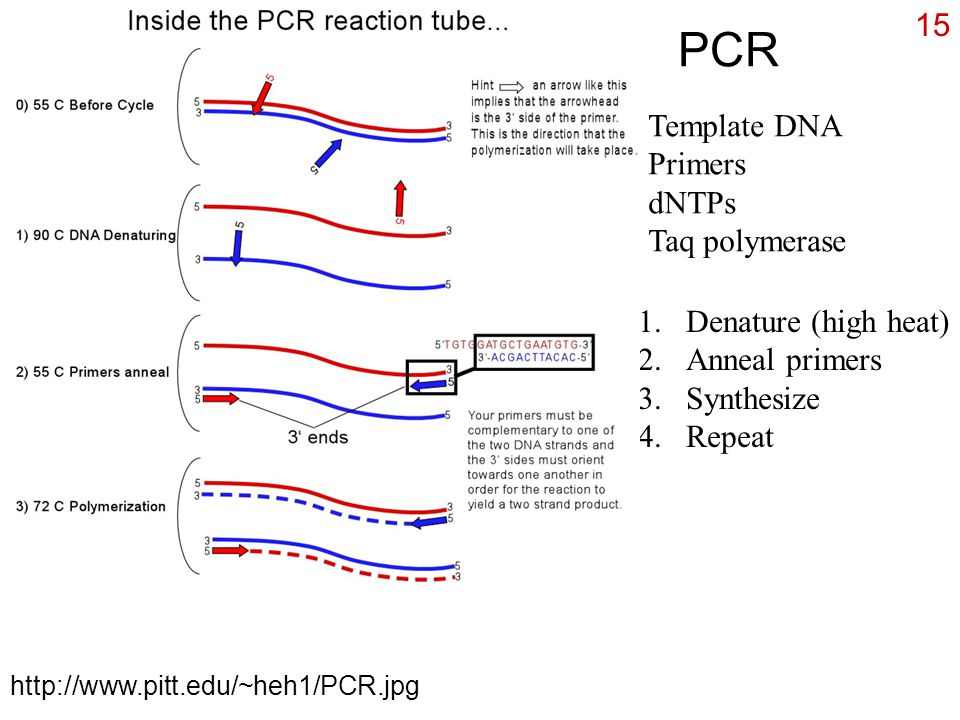 Manipulating dna recombinant dna a combination of dna in for Pcr template amount