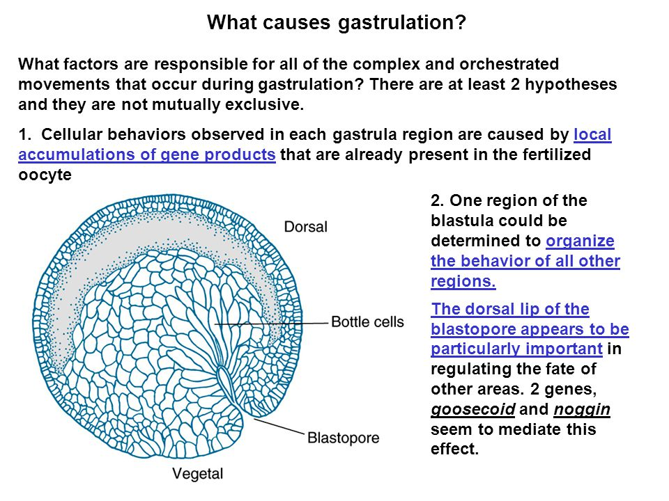 Gastrulation is the first stage in forming the body plan ...