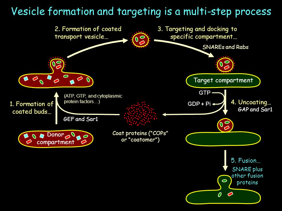 Vesicle formation and targeting is a multi-step process