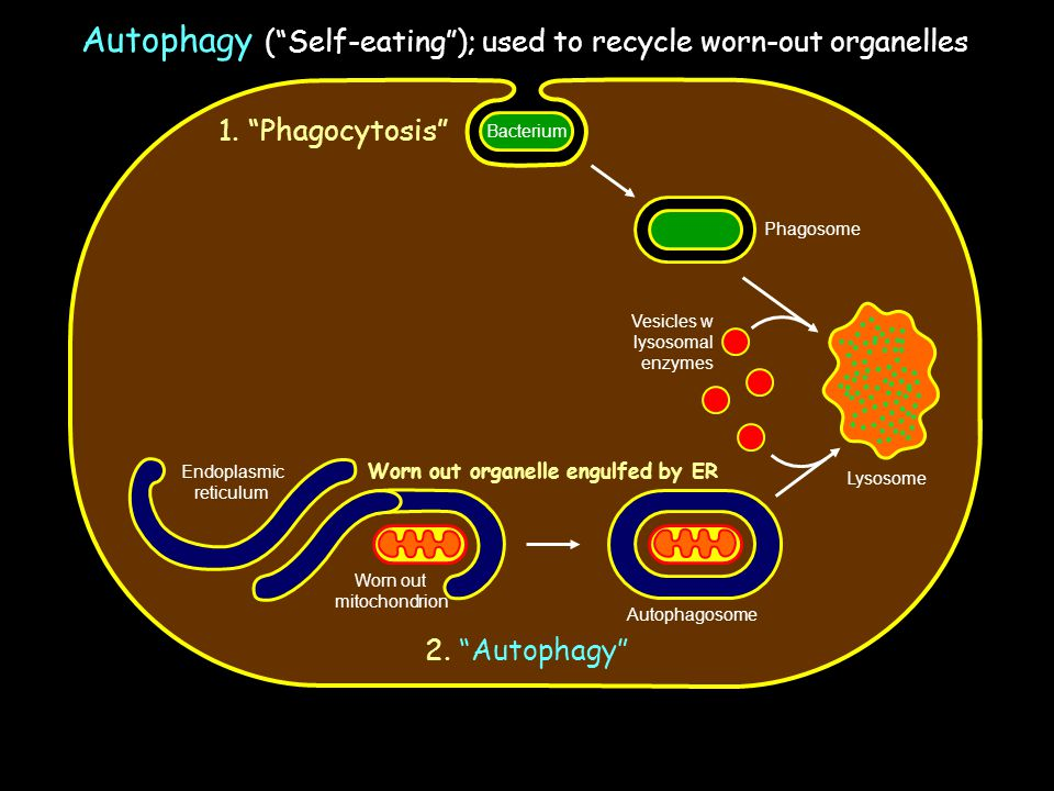Autophagy ( Self-eating ); used to recycle worn-out organelles