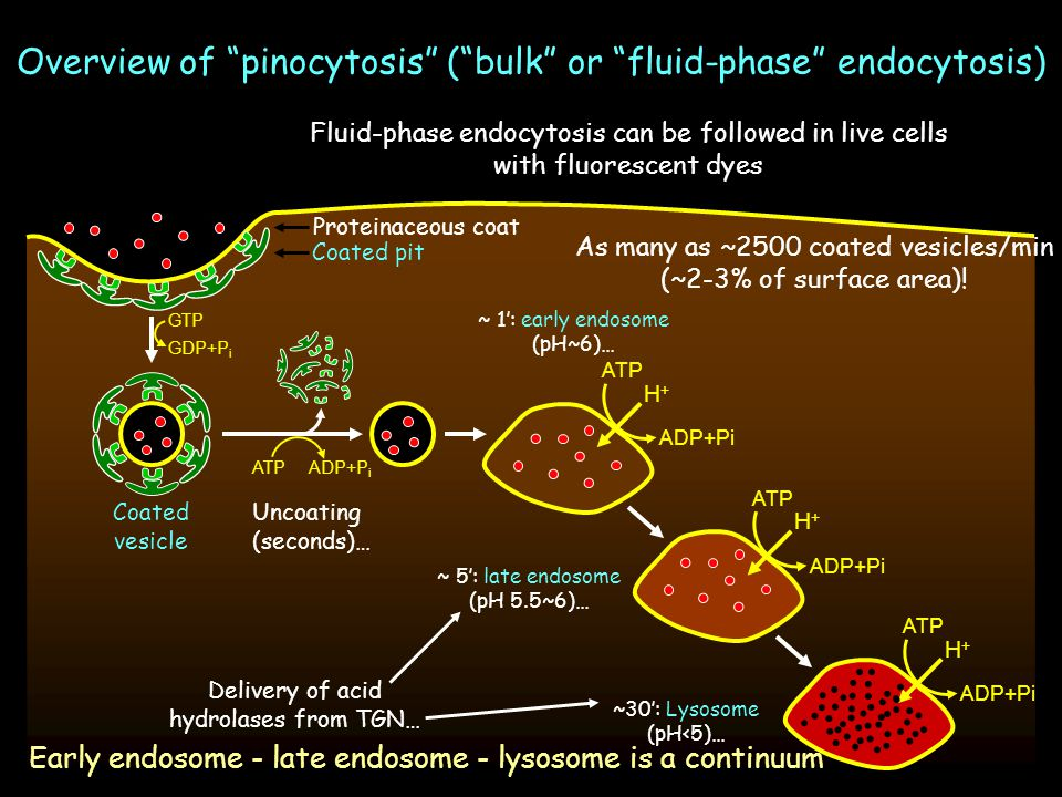 Overview of pinocytosis ( bulk or fluid-phase endocytosis)