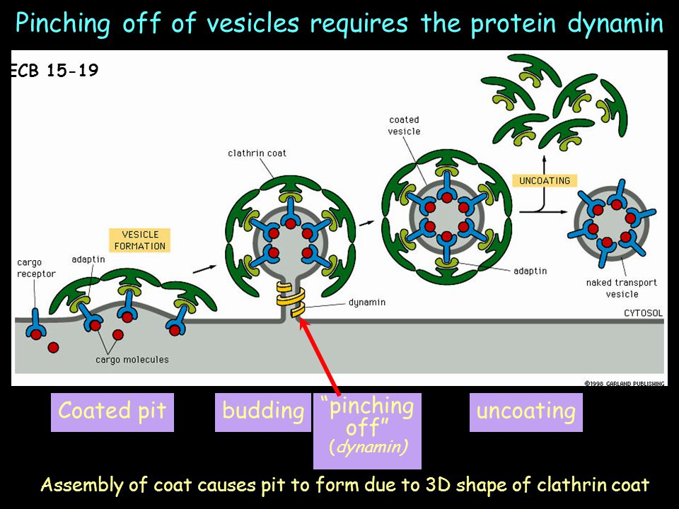Pinching off of vesicles requires the protein dynamin