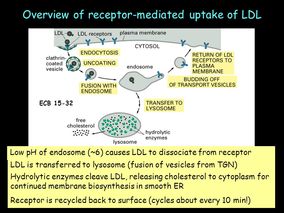 Overview of receptor-mediated uptake of LDL