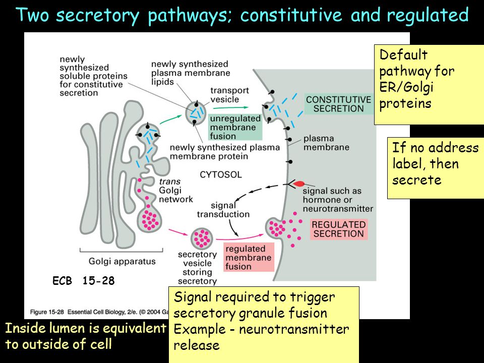Two secretory pathways; constitutive and regulated