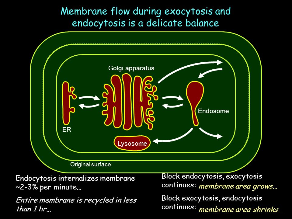 Membrane flow during exocytosis and endocytosis is a delicate balance
