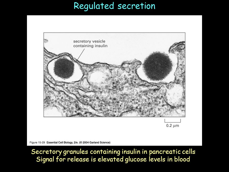 Regulated secretion Secretory granules containing insulin in pancreatic cells.