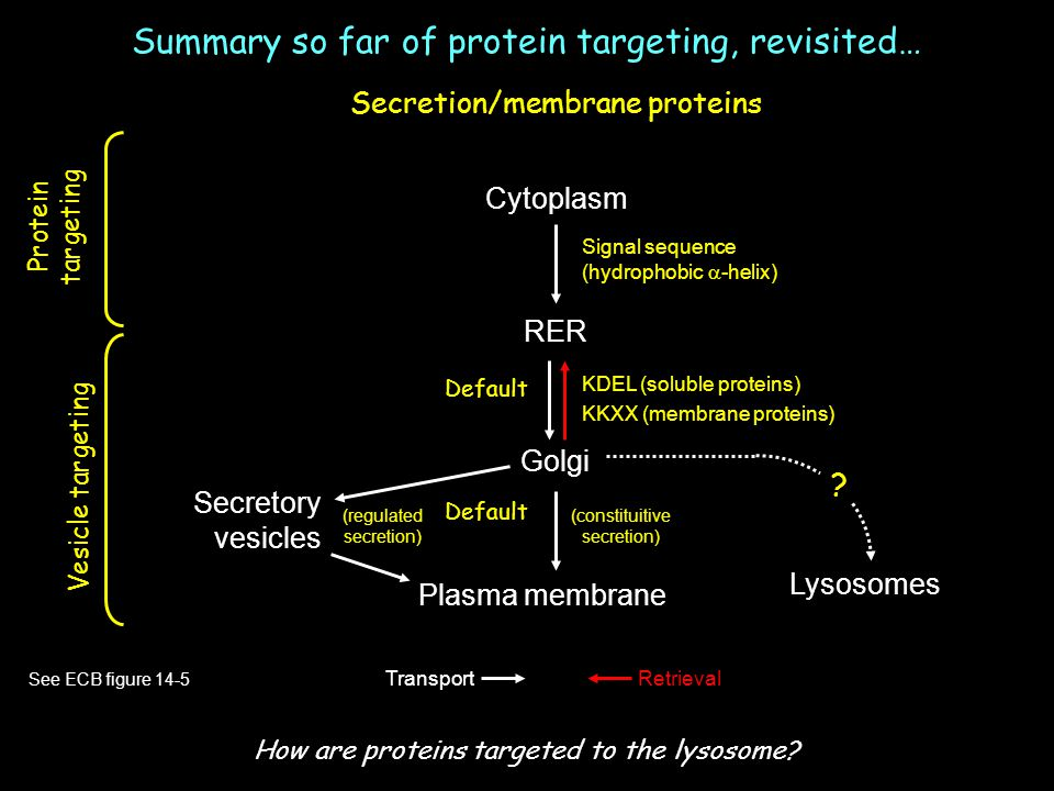 Summary so far of protein targeting, revisited…