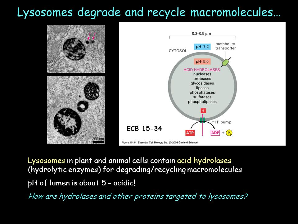 Lysosomes degrade and recycle macromolecules…