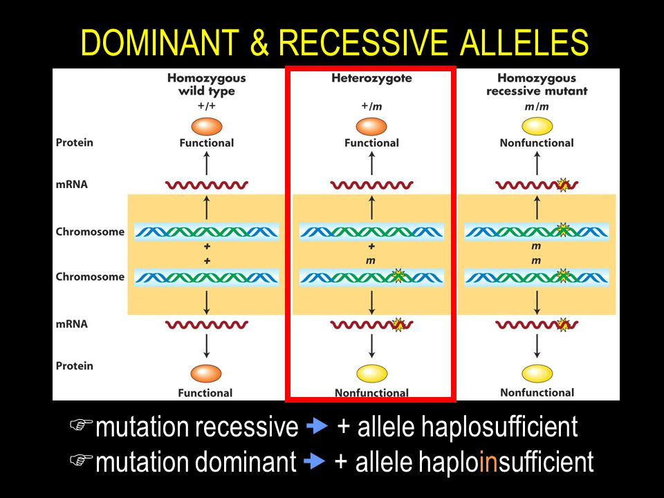 Dominant Recessive LECTURE 10: FROM GENE ...