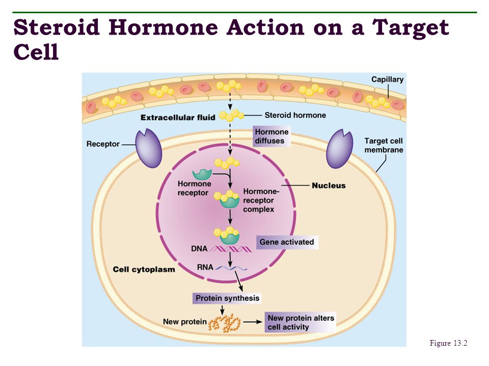 Steroid Hormone Action on a Target Cell