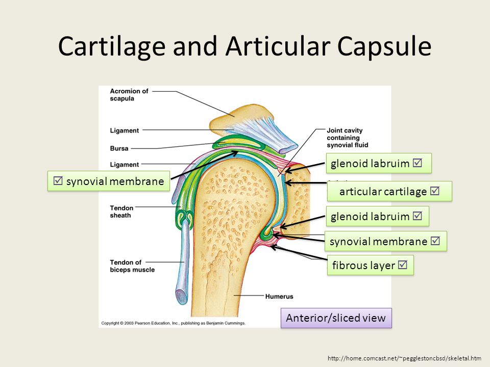 Glenohumeral Joint Jessica Vila & Carrie A. Hoch. - ppt ...