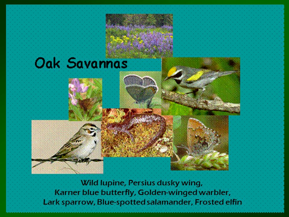Wild lupine, Persius dusky wing,