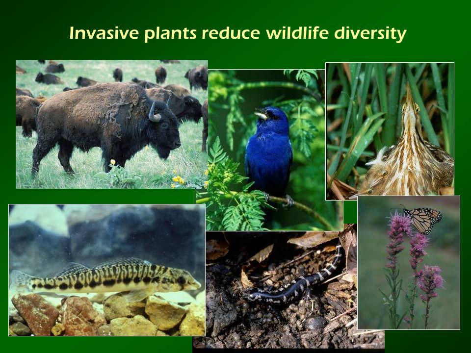 Invasive plants reduce wildlife diversity