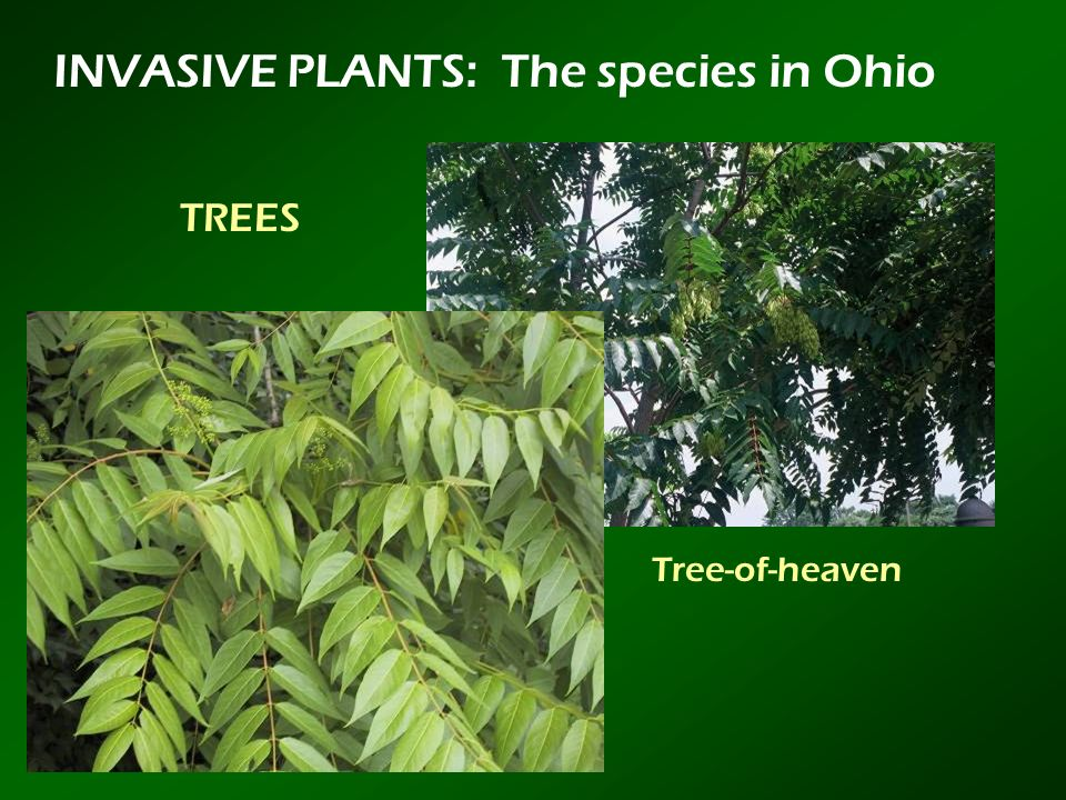 INVASIVE PLANTS: The species in Ohio