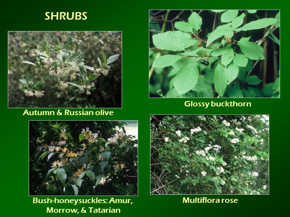 Bush-honeysuckles: Amur,