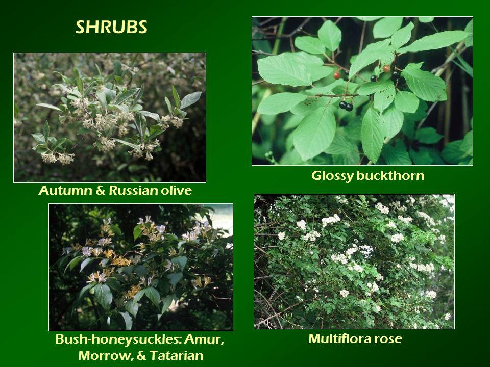 Bush-honeysuckles: Amur,