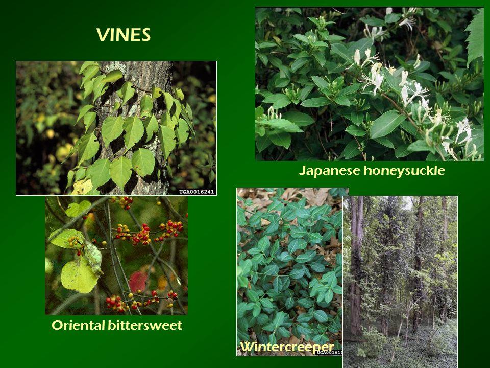 VINES Japanese honeysuckle Oriental bittersweet Wintercreeper