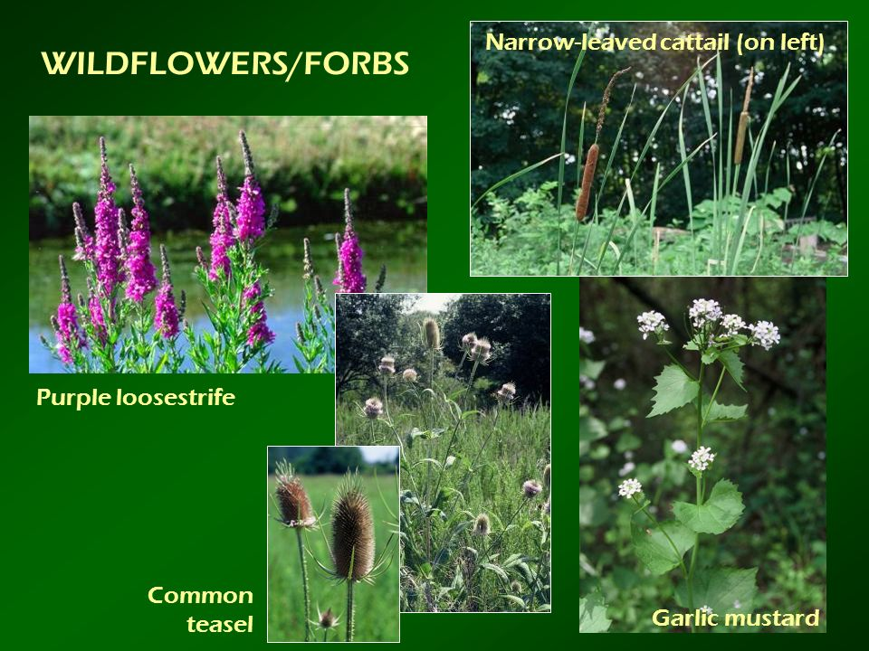 WILDFLOWERS/FORBS Narrow-leaved cattail (on left) Purple loosestrife