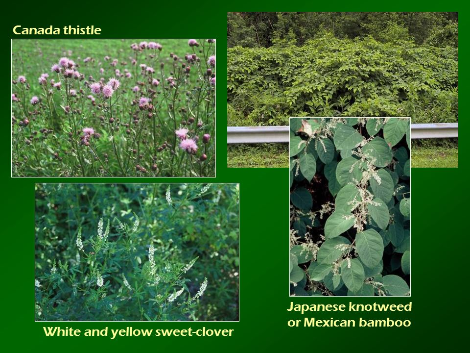 Canada thistle Japanese knotweed or Mexican bamboo White and yellow sweet-clover