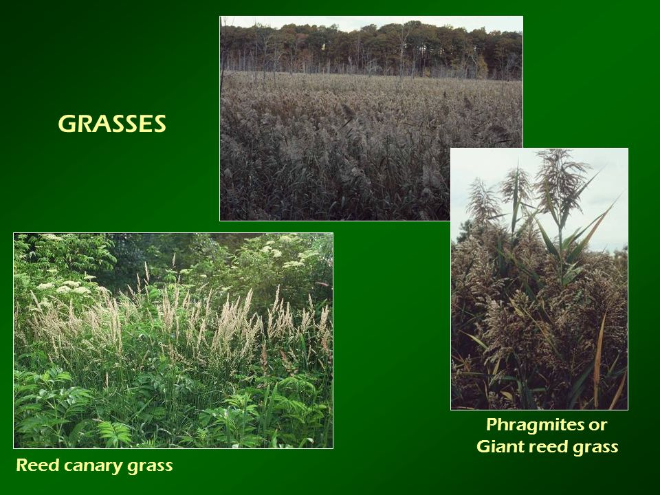 GRASSES Phragmites or Giant reed grass Reed canary grass