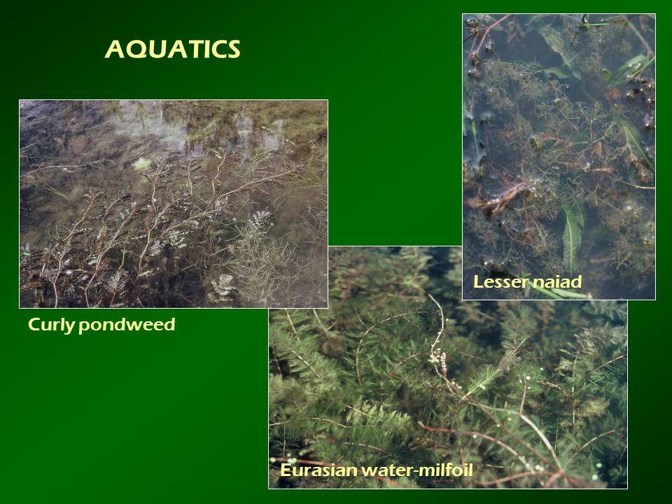 AQUATICS Lesser naiad Curly pondweed Eurasian water-milfoil