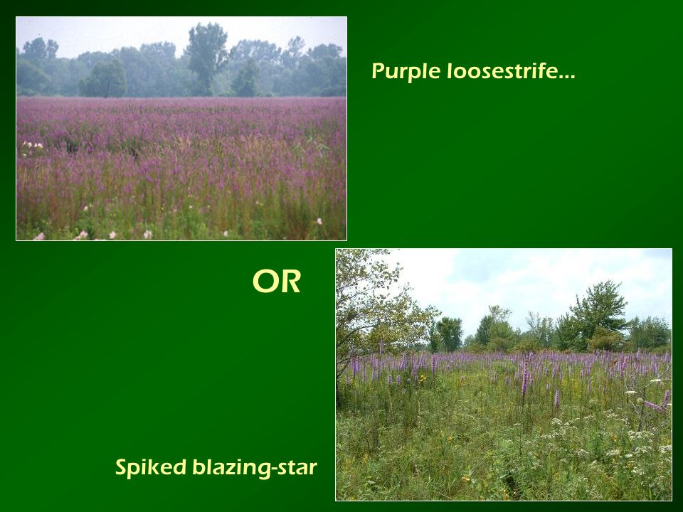 OR Purple loosestrife… Spiked blazing-star