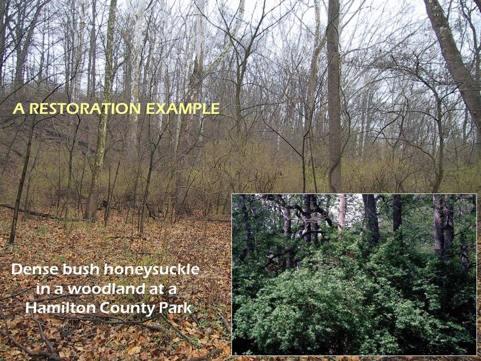 Dense bush honeysuckle