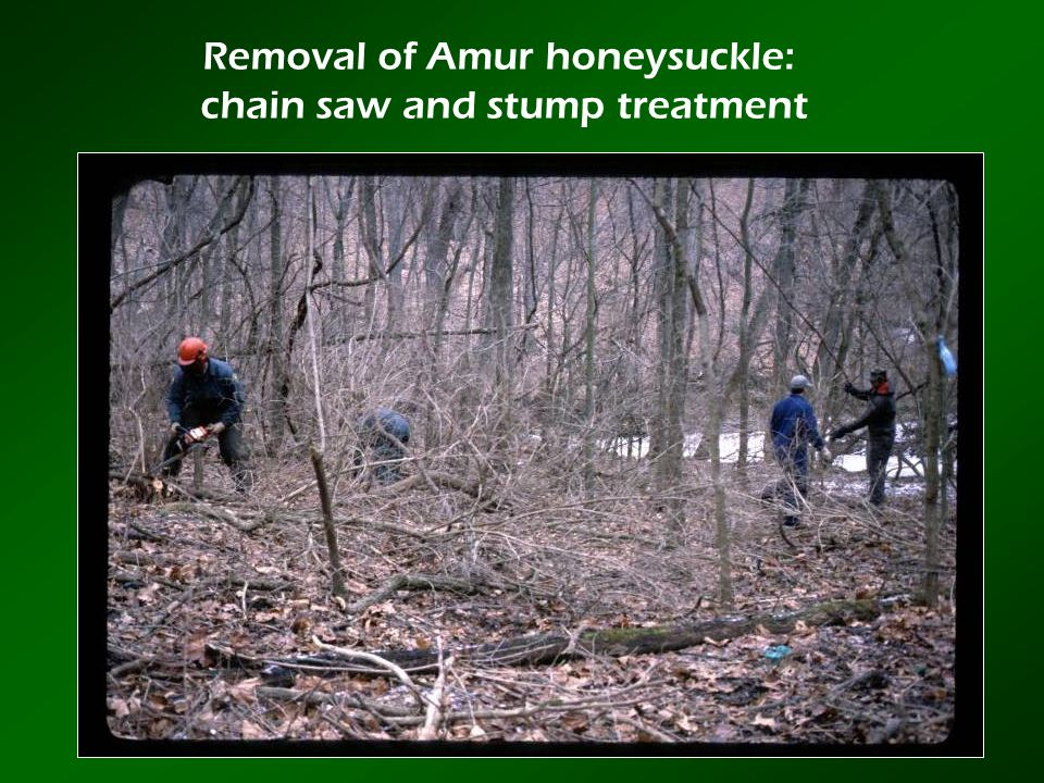 Removal of Amur honeysuckle: chain saw and stump treatment