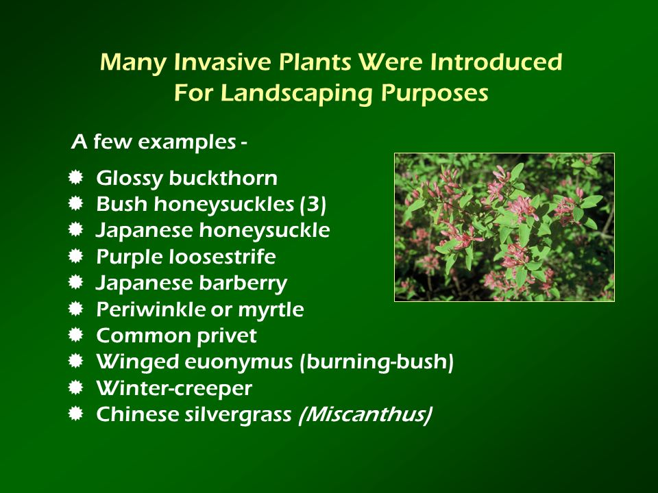 Many Invasive Plants Were Introduced For Landscaping Purposes