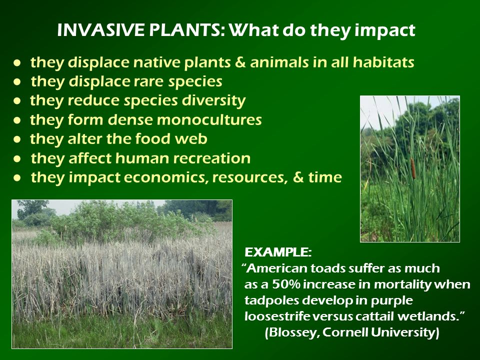 INVASIVE PLANTS: What do they impact