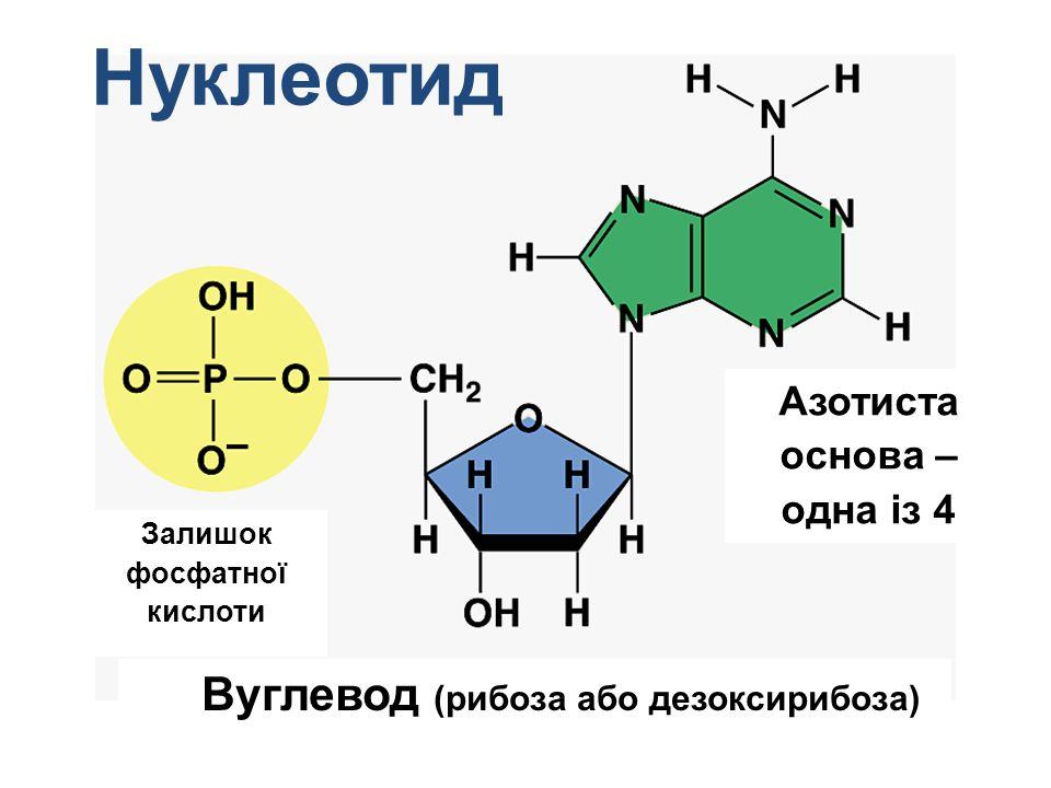 Нуклеотид Вуглевод (рибоза або дезоксирибоза)