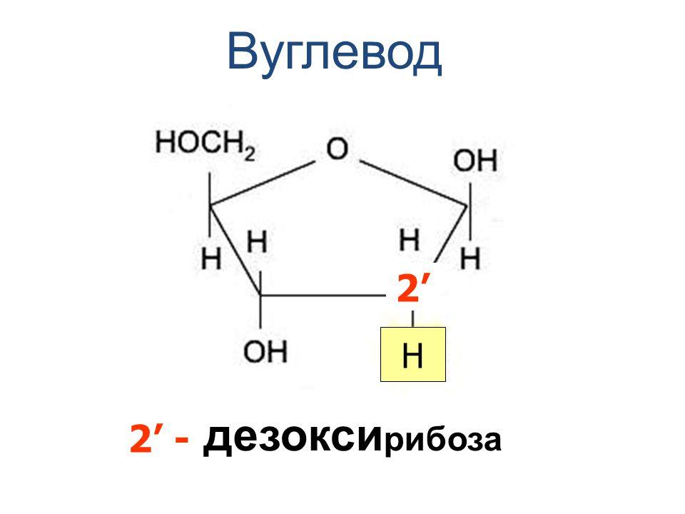 Вуглевод 2' H дезоксирибоза 2' -