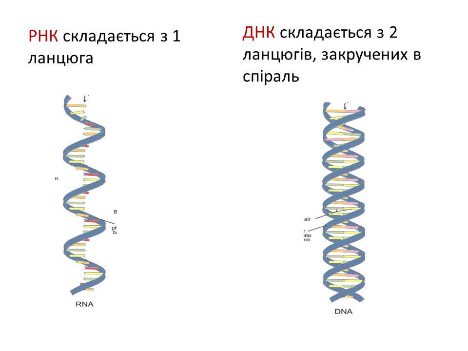 ДНК складається з 2 ланцюгів, закручених в спіраль