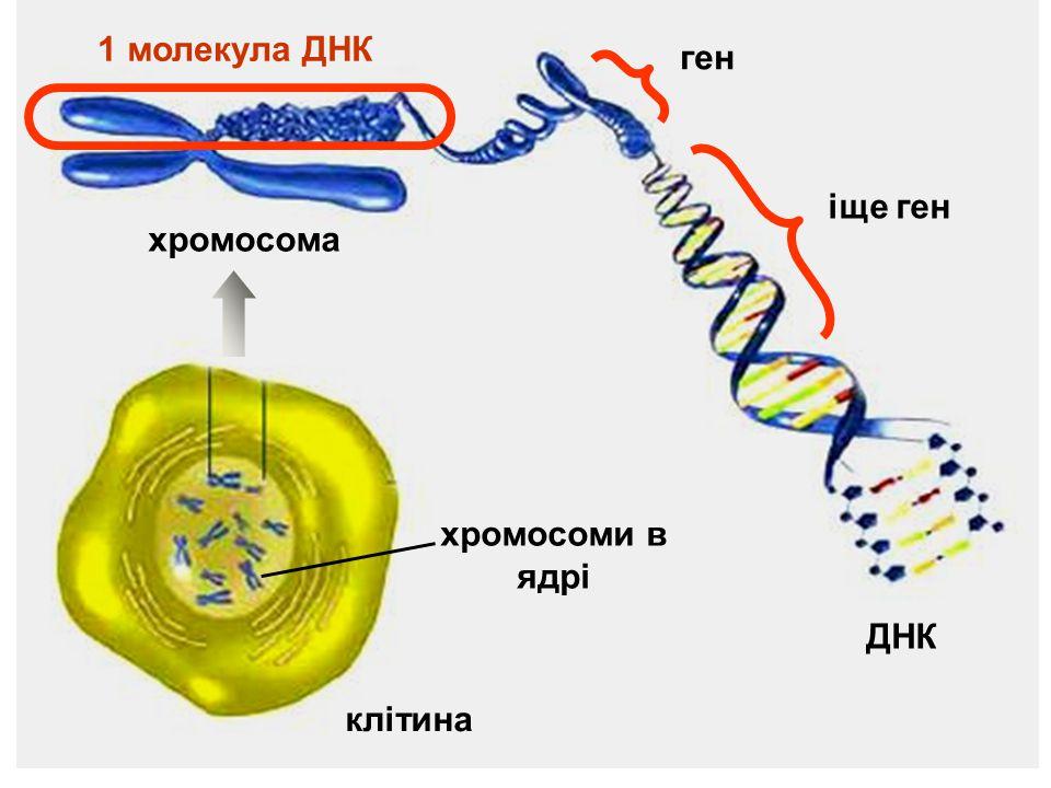 1 молекула ДНК ген іще ген хромосома хромосоми в ядрі ДНК клітина