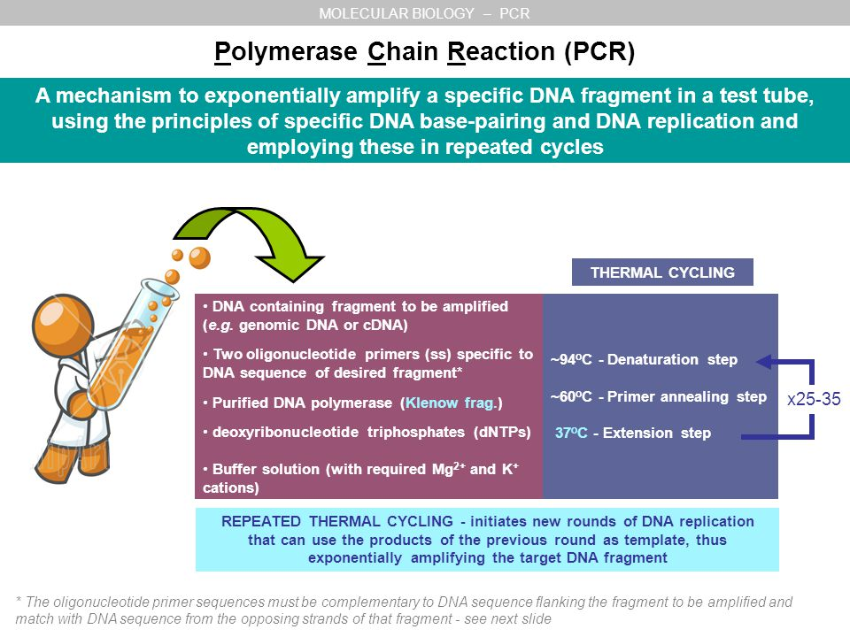 a study of pcr or polymerase chain reaction What is pcr (polymerase chain reaction) which means it can withstand the temperatures needed to break the strands of dna apart in the denaturing stage of pcr dna polymerase from most other organisms would not be able to withstand these high temperatures.