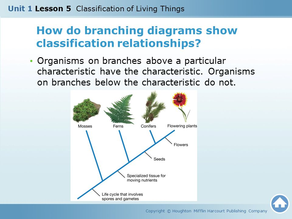 How do branching diagrams show classification relationships