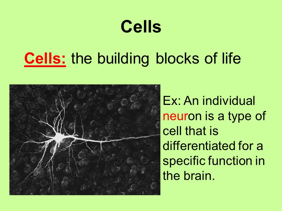 cells the building blocks of life Cells: the building blocks of life what is life an organism is a living thing six characteristics of all living things are: cellular organization contain similar chemicals use energy grow.