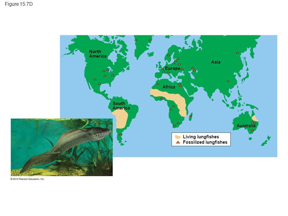 Map Showing Europe%0A Figure     D Lungfish distribution  a result of continental drift