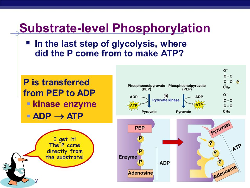 Making energy atp the point is to make atp ppt video for Where did pi come from