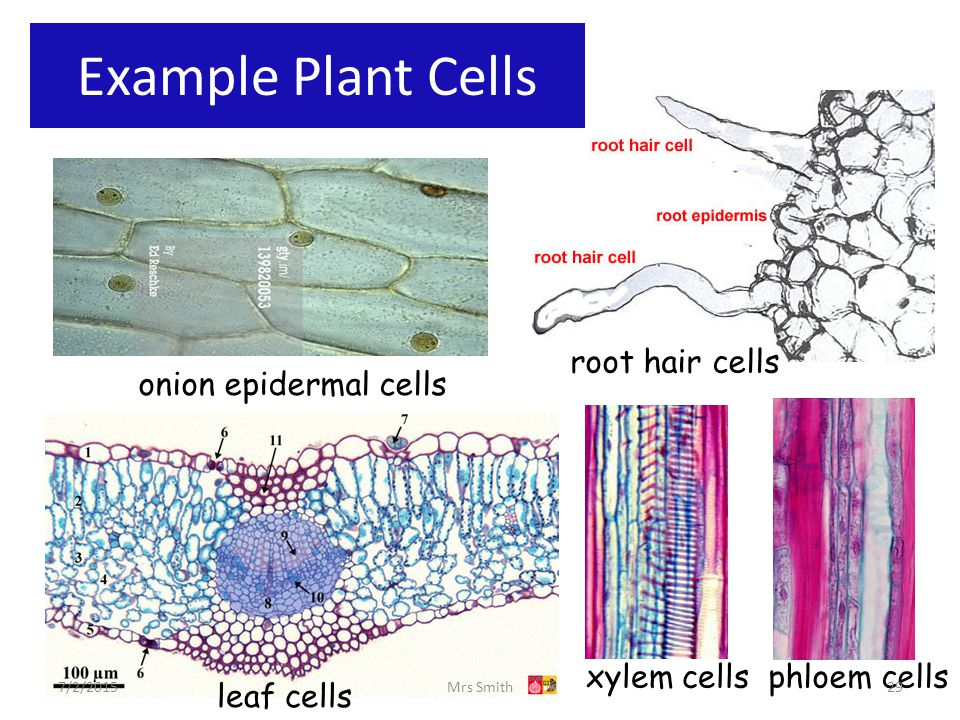Chapter 1 cell structure ppt video online download example plant cells root hair cells onion epidermal cells xylem cells ccuart Gallery