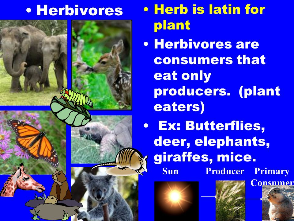 Herbivores Herb is latin for plant