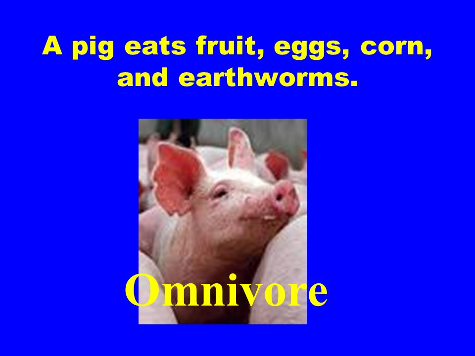 A pig eats fruit, eggs, corn, and earthworms.