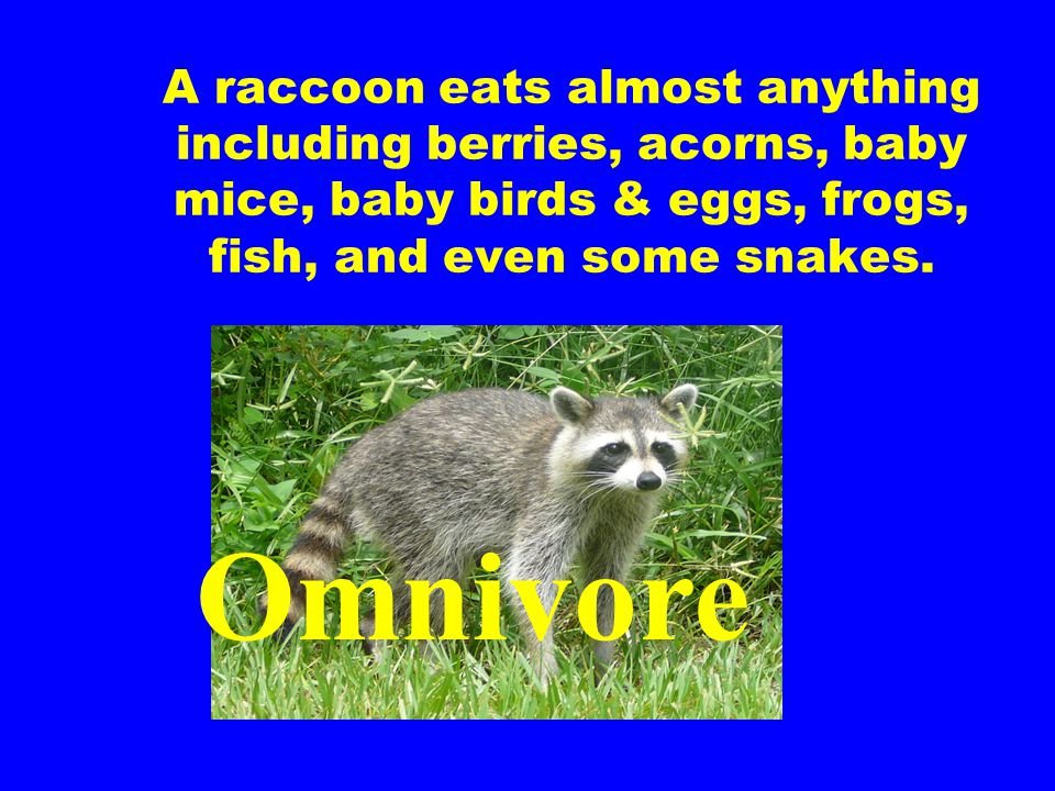 A raccoon eats almost anything including berries, acorns, baby mice, baby birds & eggs, frogs, fish, and even some snakes.