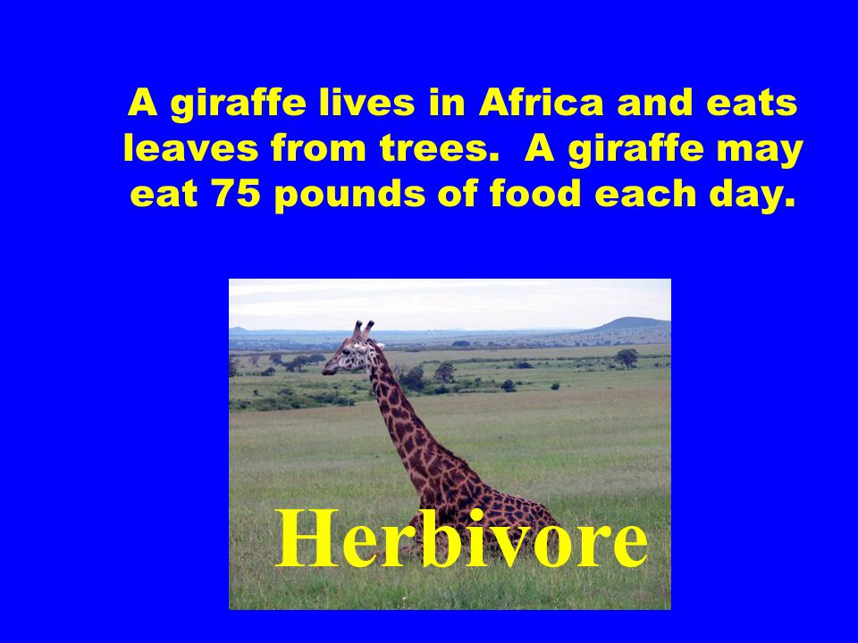 A giraffe lives in Africa and eats leaves from trees