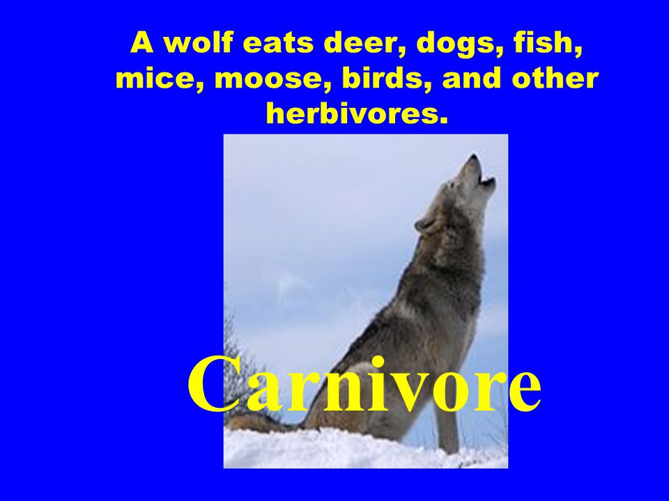 A wolf eats deer, dogs, fish, mice, moose, birds, and other herbivores.
