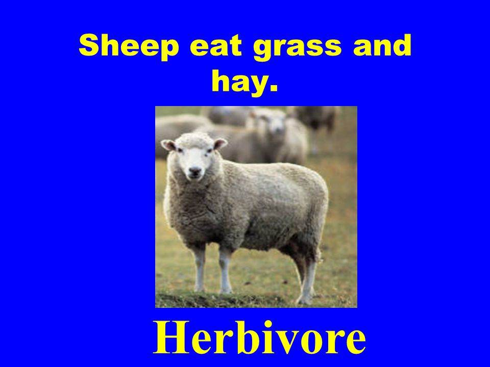 Sheep eat grass and hay. Herbivore