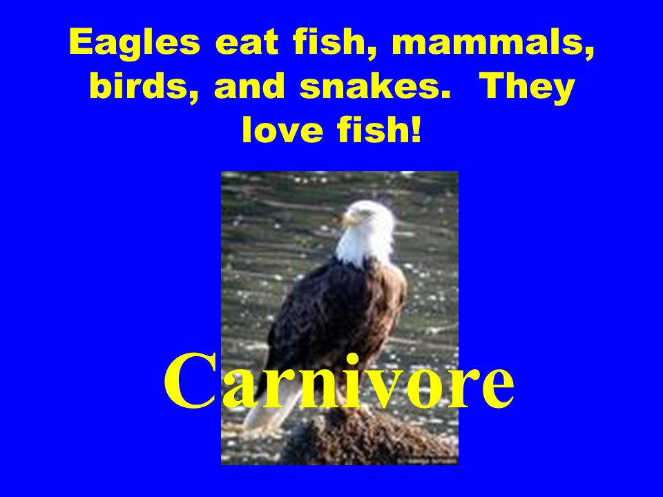 Eagles eat fish, mammals, birds, and snakes. They love fish!