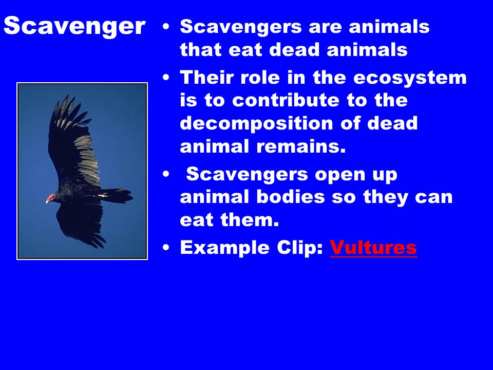 Scavenger Scavengers are animals that eat dead animals